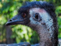 Attraktiv imponerande emu i profil Arkivbilder