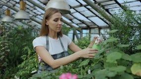 Attraktiv kvinnaträdgårdsmästare i förkläde som bevattnar växter och blommor med den trädgårds- sprejaren i växthus stock video
