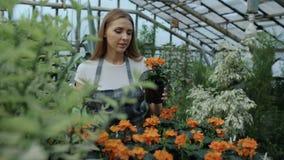 Attraktiv le kvinnaträdgårdsmästare i förkläde som bevattnar växter och blommor med den trädgårds- sprejaren i växthus stock video