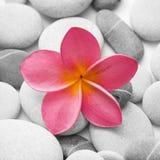 attraktiva blommapebbles Arkivfoton