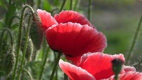 Attraktive, helle, rote Farbe Der durchschnittliche Plan mit Hummel und Biene Attraktive, helle, rote Farbe stock footage