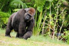 Attraktiver weiblicher Gorilla Lizenzfreies Stockfoto