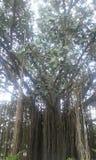 attraktivt gammalt träd Arkivbild