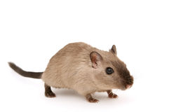 attraktivt male rodentbarn Arkivbild