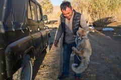 Attrapé au Fox de piège, et employez alors comme amorce pour Eagle d'or dans la faux-chasse - organisée spécifiquement pour les r Photographie stock