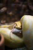 Attrapé ! Le python jaune avale la souris Images libres de droits