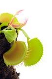 Attrape-mouche de Venus Image libre de droits