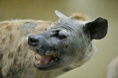Attrapp av den afrikanska hyenan Royaltyfri Foto