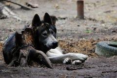 attraversi fra un tundrarum di canis lupus del lupo e un Malamute dell'Alaska Fossa di scolo di allevamento per i lupi e l'ibrido fotografia stock libera da diritti