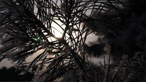 Attraverso gli aghi attillati il chiarore dell'alba splende gli aghi attillati sono coperti di siluetta di brina del ramo del pin archivi video