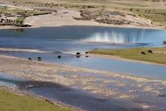 attraverso il fiume delle mucche Fotografia Stock