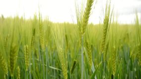 Attraverso il grano verde stock footage