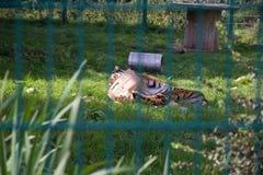Attraverso le barre dello zoo: una tigre gioca nella sua recinzione, trovantesi sull'erba immagine stock