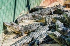 Attrazione dell'alligatore - fattoria, FL Fotografia Stock Libera da Diritti