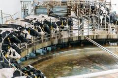 Attrezzatura speciale di azienda agricola di agricoltura delle mucche di mungitura sull'azienda lattiera Immagini Stock Libere da Diritti