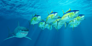 Atum amarelo Tuna School Imagem de Stock Royalty Free