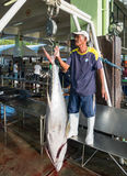 Atum de atum amarelo que está sendo pesado Imagem de Stock