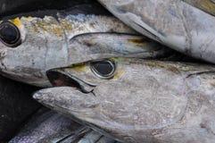 Atum de Blackfin Imagens de Stock Royalty Free