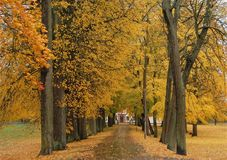 Atumn avenue. Beautiful avenue in my hometown,every year with its yellow leaves,like gold Royalty Free Stock Photography