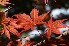 Atumn leaf. Maple tree around park at independent hall, USA Royalty Free Stock Image
