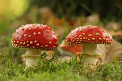 Atumn scene: two toadstools Stock Photos