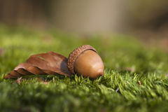 Atumn still life with acorn and autumn leaf Stock Photography