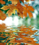 atumn叶子槭树10月 库存图片