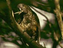 Aturdindo, as tiras raras do pássaro de Kaka quietamente descascam fora do ramo de árvore na noite Imagens de Stock Royalty Free