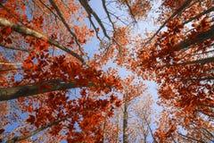 Aturdindo Autumn Fall ajardine a imagem que olha acima através da faia tr Imagem de Stock