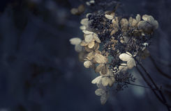 Aturdindo o hortensia secado da hortênsia floresce transversal processado para r Imagem de Stock Royalty Free