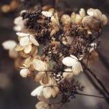 Aturdindo o hortensia secado da hortênsia floresce transversal processado para r Fotos de Stock Royalty Free