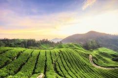 Aturdindo o nascer do sol sobre a plantação de chá em Cameron Highlands, Malásia imagem de stock royalty free