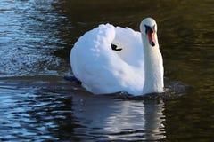 Aturdir el ciruelo del cisne de plumas en la demostración en reflexiones imagenes de archivo