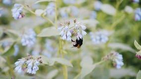 Aturdir el primer de un abejorro Color hermoso del insecto almacen de metraje de vídeo