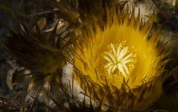 Aturdir perto acima da flor do cacto de tambor Fotos de Stock