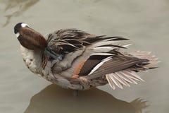 Atusarse el pato en agua Fotos de archivo