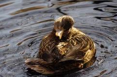 Atusarse el pato femenino del pato silvestre flota en la charca mientras que ella se baña fotografía de archivo
