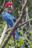 Atusarse Macaws Fotografía de archivo