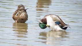 Atusarse patos silvestres Fotografía de archivo libre de regalías