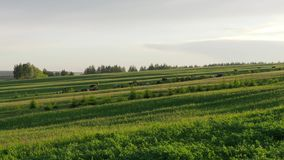 Au coucher du soleil, un troupeau de vaches dans la hausse de distance ascendante sur un pré vert banque de vidéos
