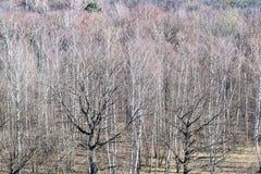 Au-dessus de la vue des chênes nus au dégagement dans la forêt photo libre de droits