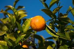 Au-dessus du citron mûr Images libres de droits