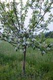 Au printemps, un pommier a fleuri dans le jardin Pommier Avec des fleurs image libre de droits
