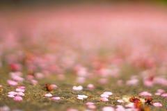 Au sol de Cherry Petals Falling To The Images libres de droits