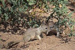 Au sol de jeune d'écureuil Photos libres de droits