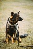 Au sol noir de Dog Sitting On de berger allemand photo libre de droits