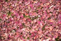 Au sol rouge de chute de feuille Photos stock