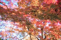 Au sol rouge de chute de feuille Photo libre de droits