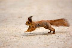 Au sujet d'exécuter un écureuil Images stock