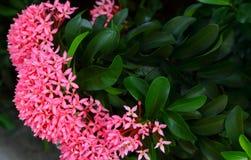 Au sujet des fleurs ou de l'ixora roses de transitoire le jour ensoleillé photographie stock